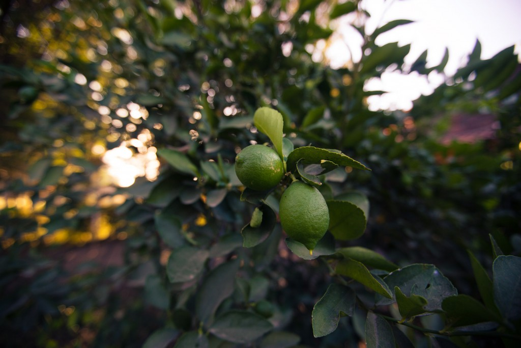 der Zitronenbaum im Garten