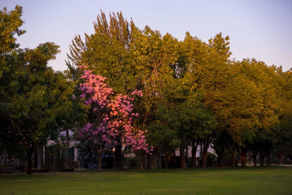 Flühlingslollebaum