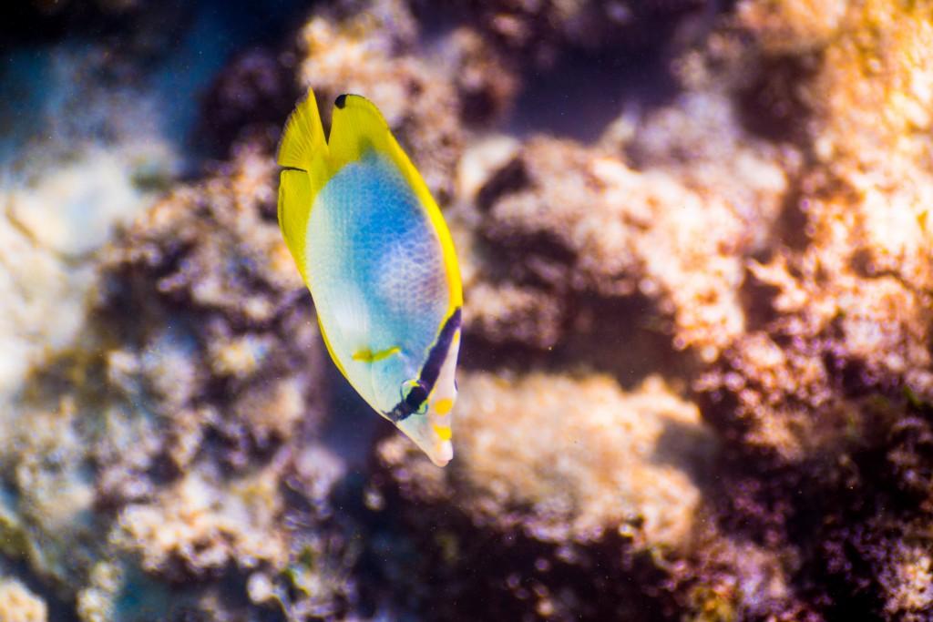 Bladerunnerfisch