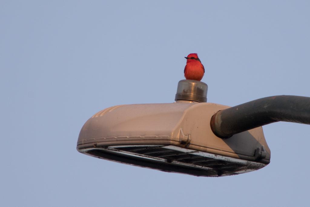 Vogel Kardinal