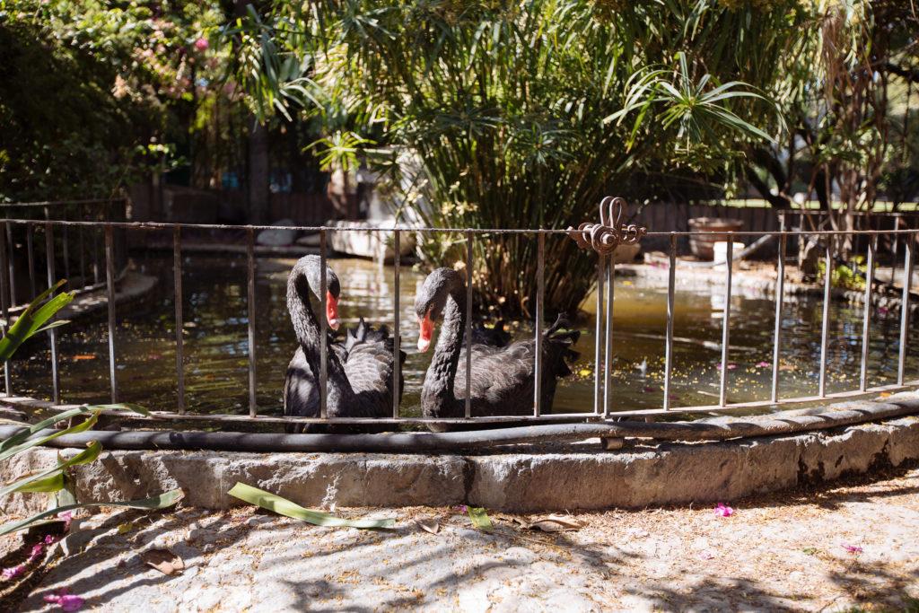 Schwarze Schwäne im Las Calandrias