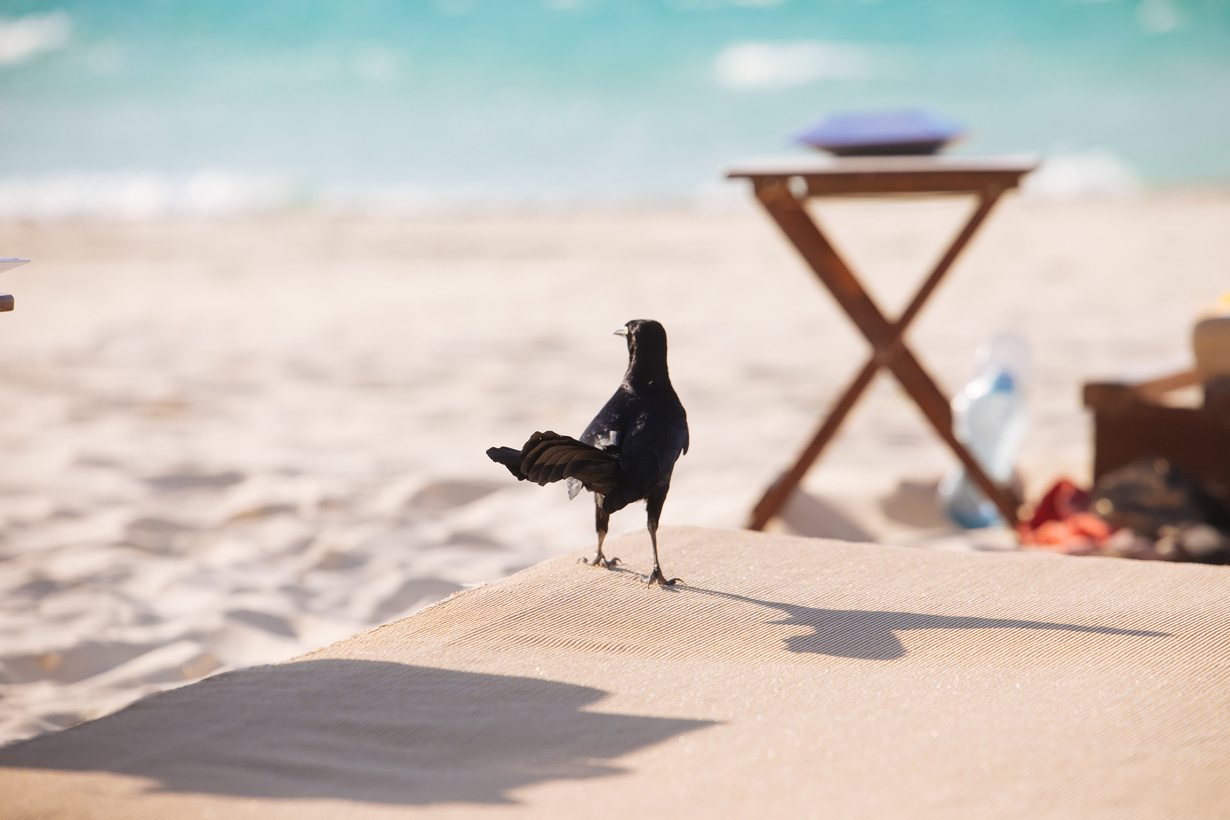 Urraca (Quiscalus mexicanus) auf der Strandliege