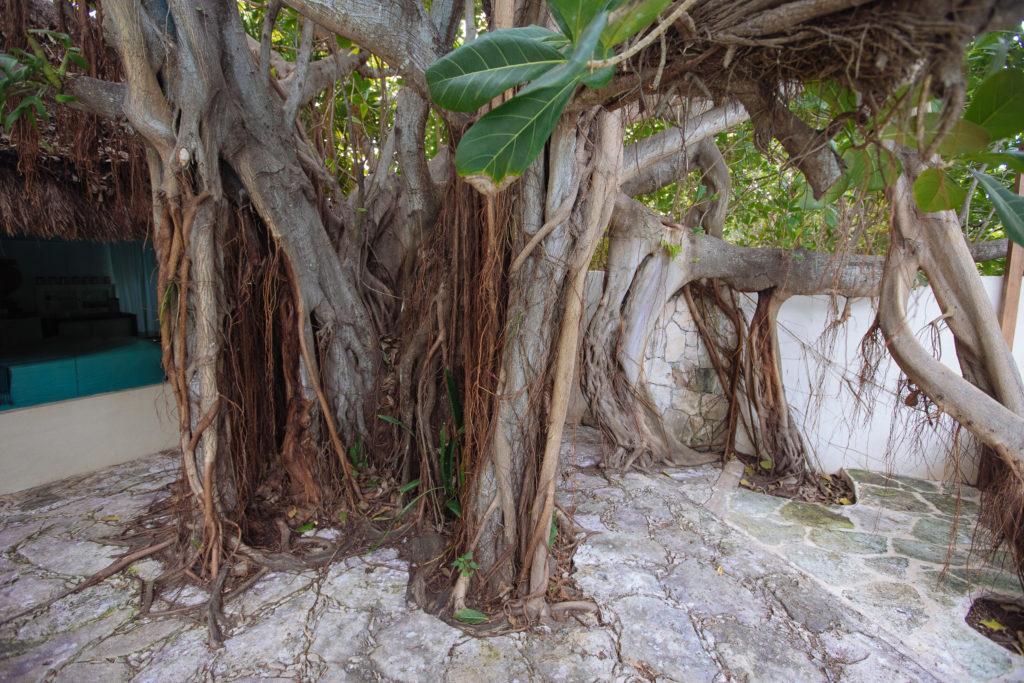 Baum mit geteiltem Stamm und Lianen