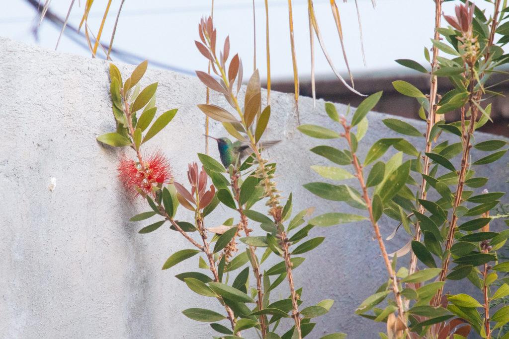 Kolibri im Garten