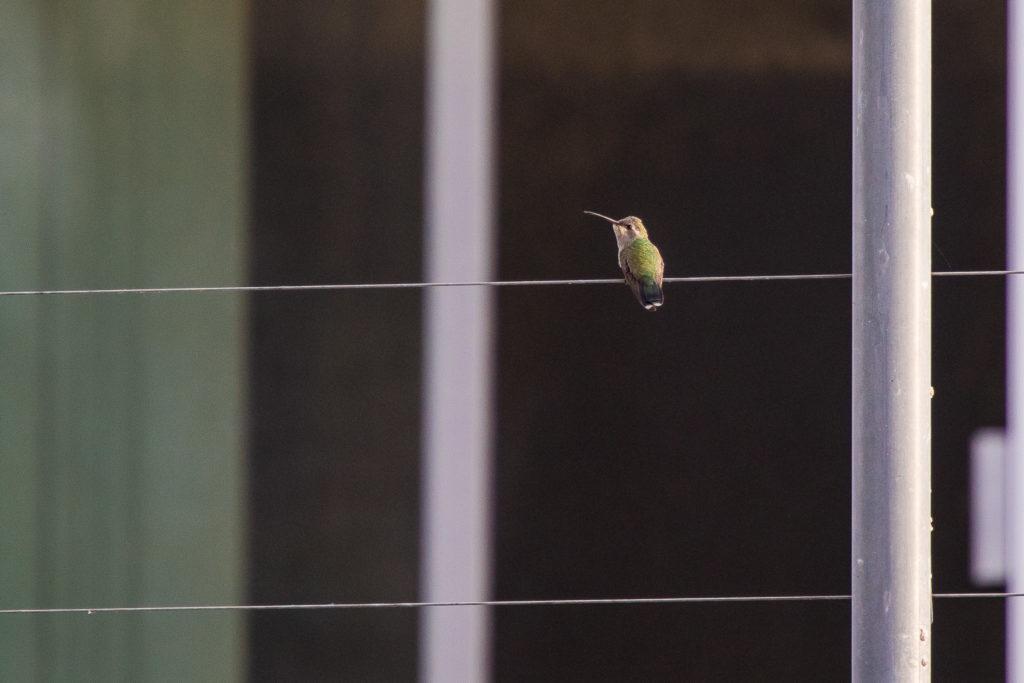 Kolibri auf dem Zaun